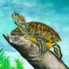 Rothalsschmuckschildkröte