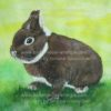 Farbzwerg-Weissgrannen-Havanna Kaninchen